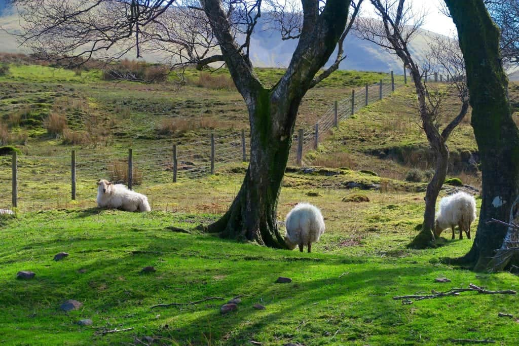 Sheep in Snowdonia Wales