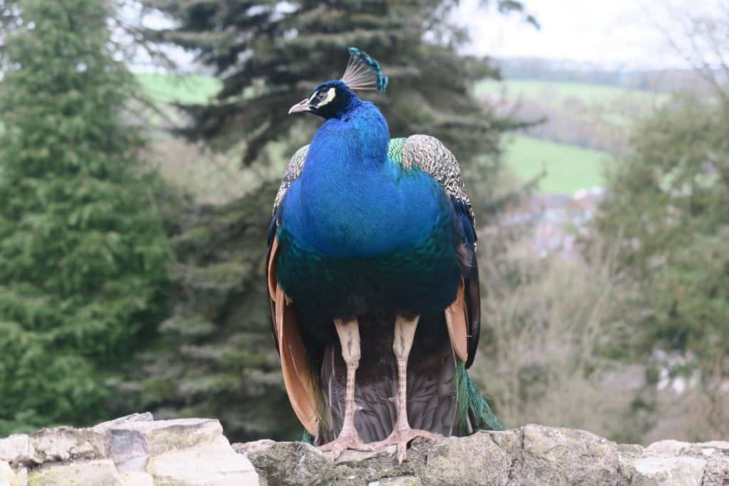 peacock Ruthin castle