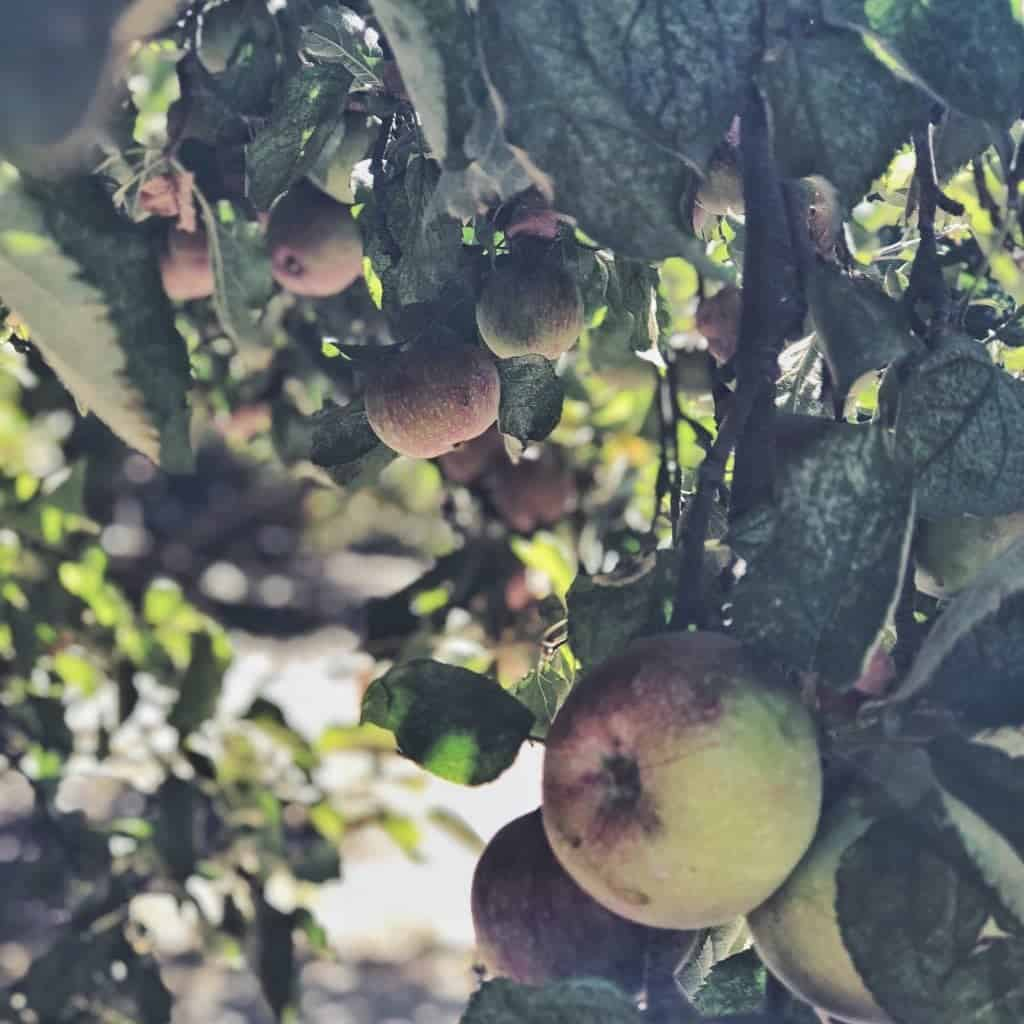 apple picking willowbrook farm los angeles