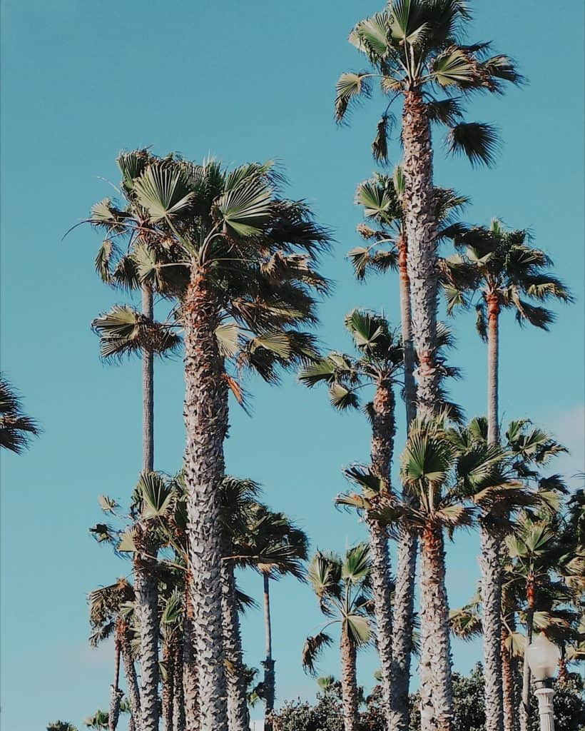 beverly hills palm trees in Los Angeles california
